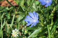 Chicory and Bee