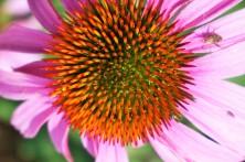 Coneflower Pollendust