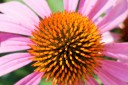 Coneflower Top