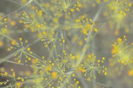 Dill Flower Dance