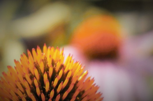 Echinacea Glow