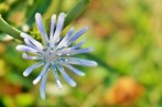 Young Chicory Bloom