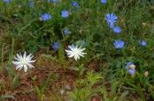 Some White Chicory Amongst the Blue