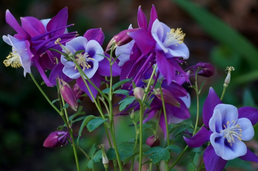 Columbine Purple